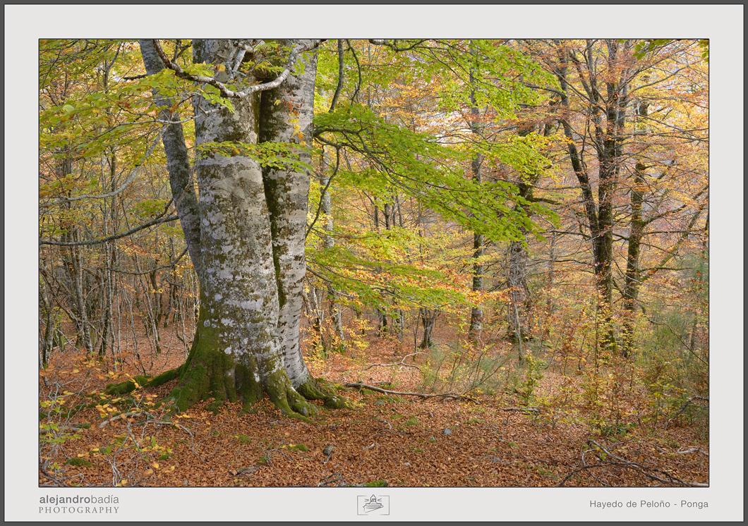 Peloño-Hayedo-13-w